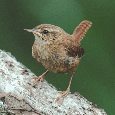 RSPB - Sound Card - Wren