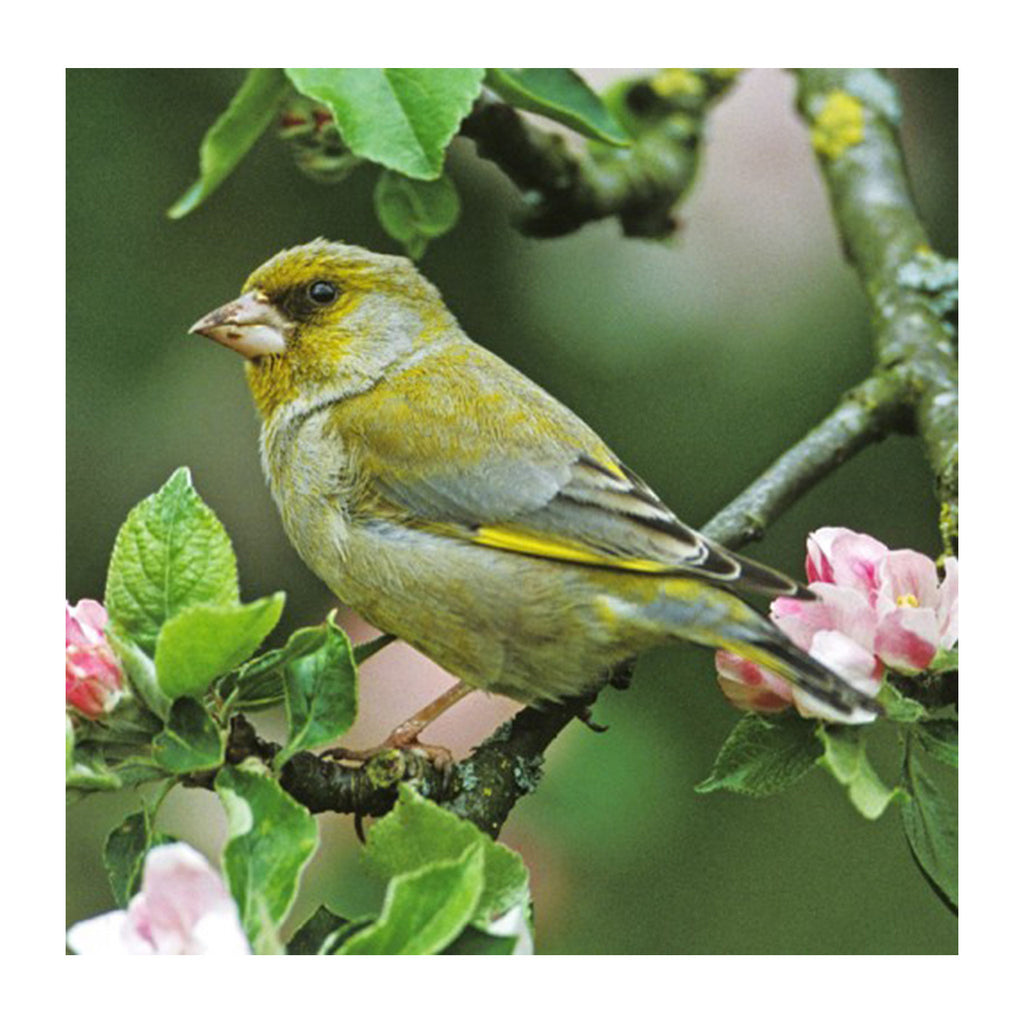RSPB - Sound Card - Greenfinch