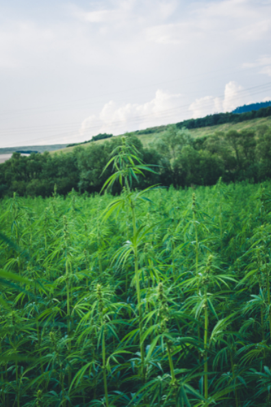 Hemp growing in a field