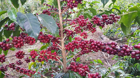 Birth Place of Coffee and Major Types of Ethiopian Coffee That We are Selling