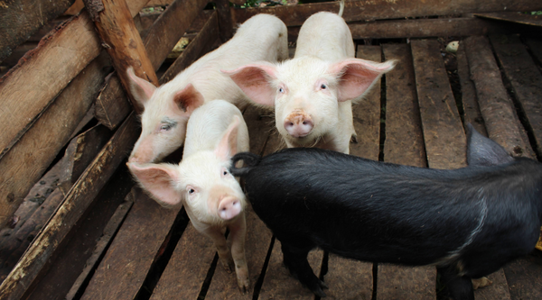 The Pig Project empowers women in Uganda to earn income.