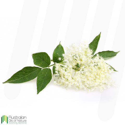 Anise Myrtle Essential Oil