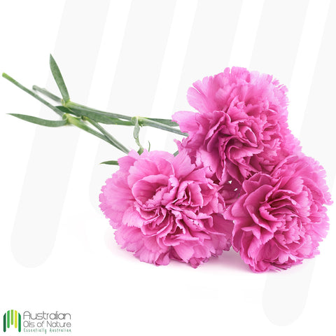 Carnation Absolute Oil