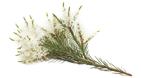 Tea Tree (Bush) Essential Oil