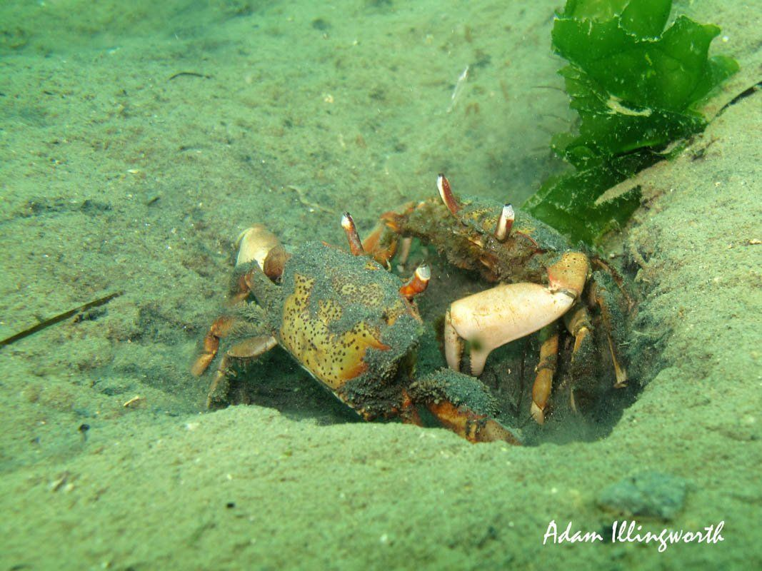 Stalk-Eyed Mud Crab