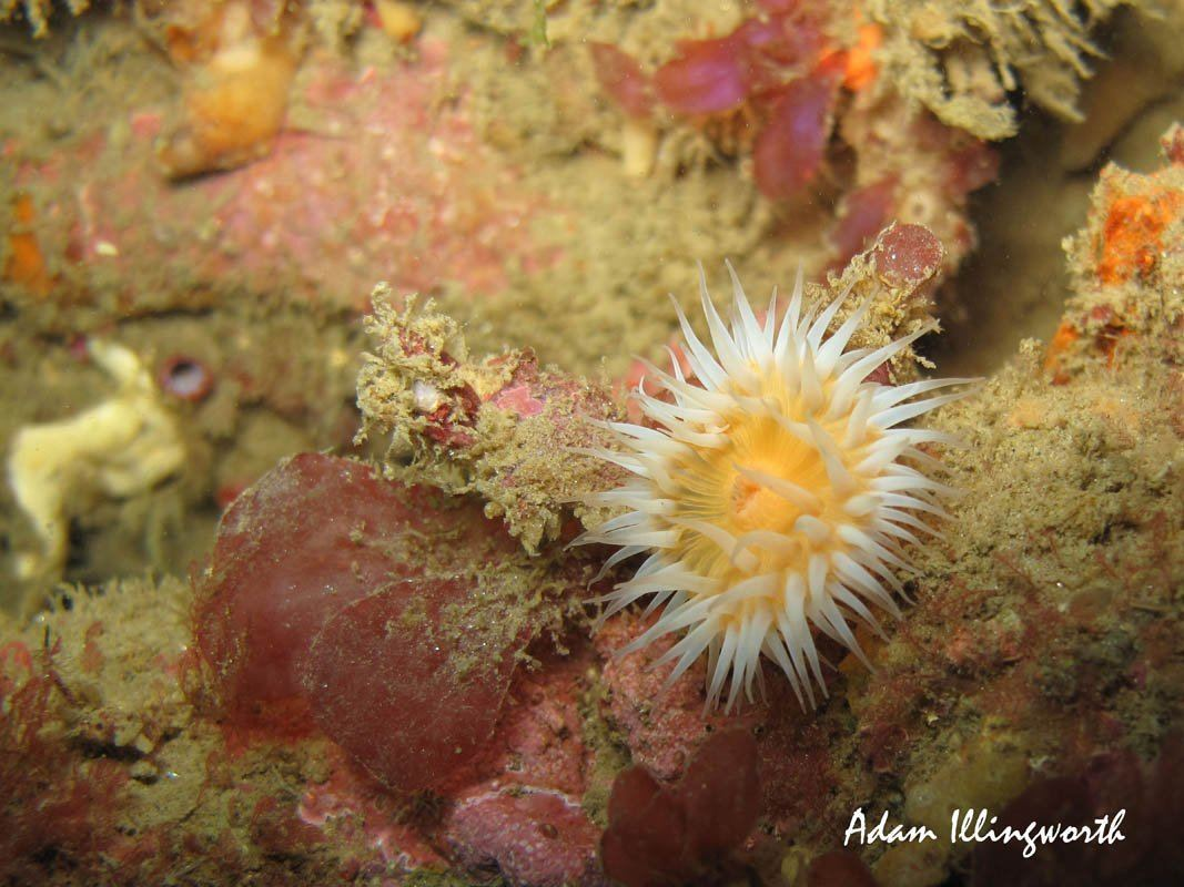 White-Striped Anemone