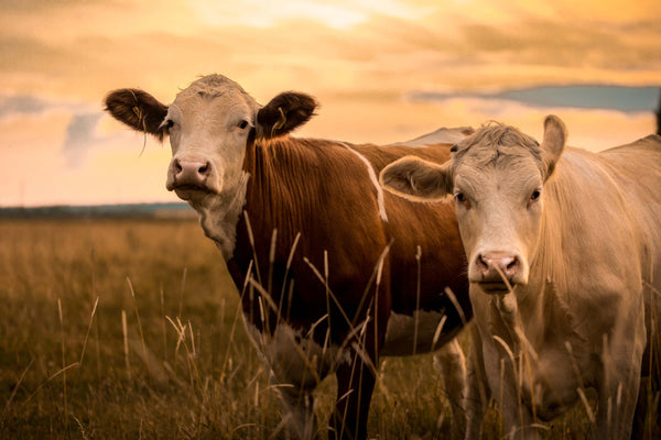 Cows can produce their own vitamin B12