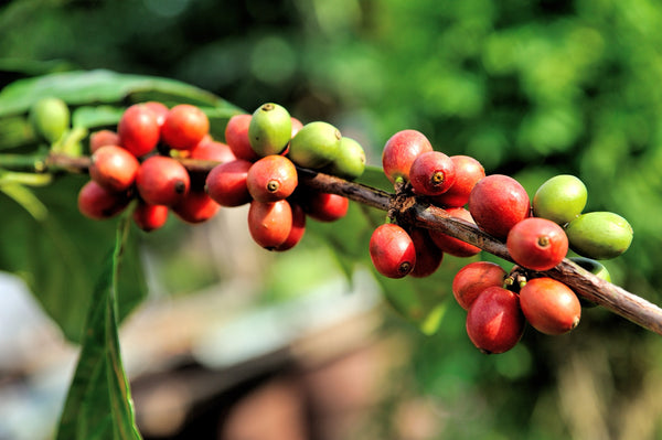 Coffee Fruit / each of these carry two coffee beans