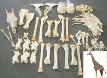Giraffe skeleton (Real natural bone. Natural death)