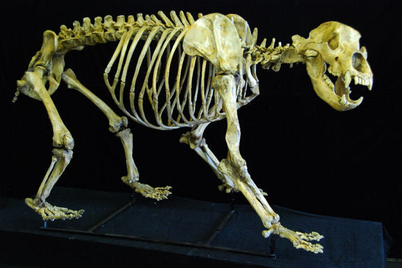 Cave Bear Skeleton for sale Cast replica reproduction