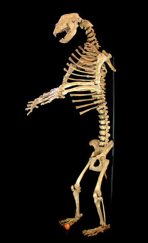 Real Fossil Cave Bear Skeleton for sale