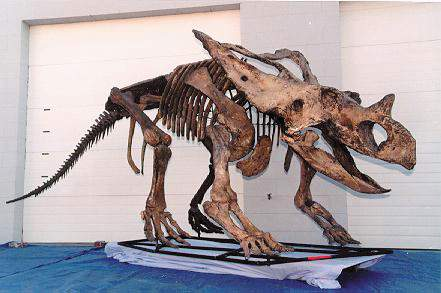 Chasmosaur skeleton cast replica