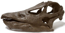 Diplodocus skull cast replica dinosaur reproduction
