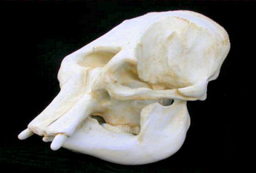 Elephant: Asian Elephant Adult Female Skull cast replica