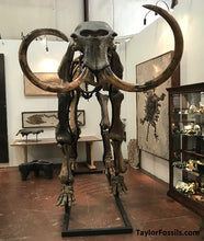 Woolly Mammoth fossil skeleton for sale.
