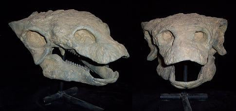Gastonia Ankylosaurus skull cast replica for rent