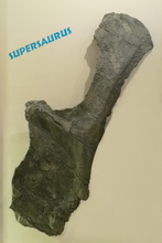 Supersaurus Scapula GIANT!!!! Rental Dinosaur