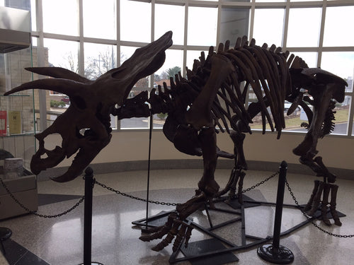 Triceratops skeleton cast replica
