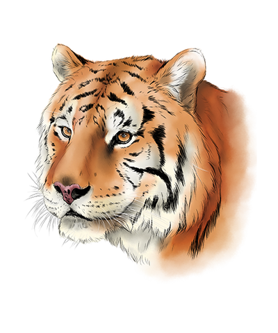 Andy Tiger Color By Cindy Arthur