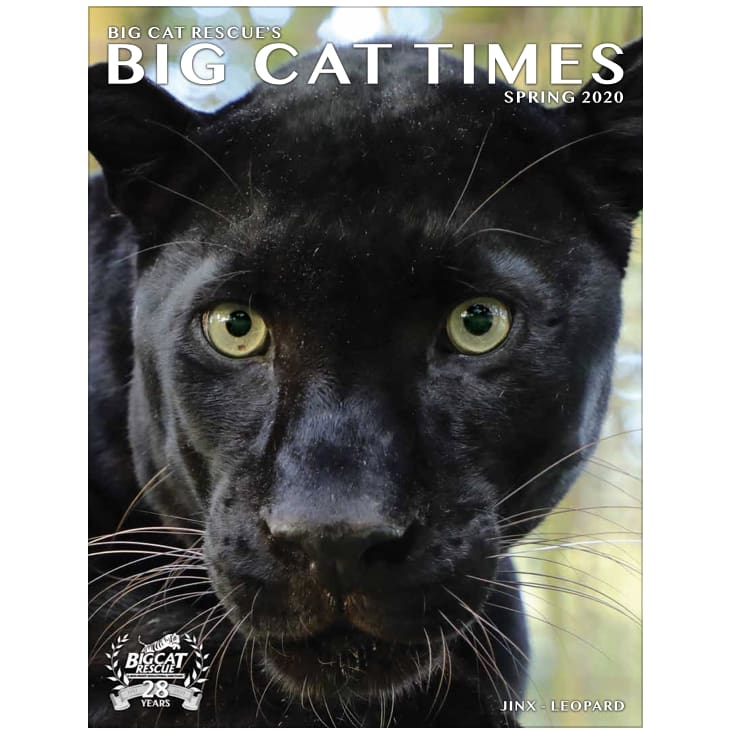 products/big-cat-times-magazine-2020-spring-download-magazines-salez-catrescue-mammal-vertebrate-felidae-932.jpg