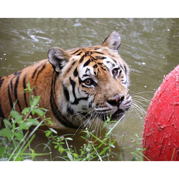 Photo Download Andy Tiger 01 - A Websize - Photo