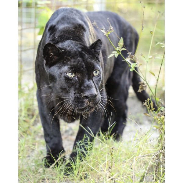 Photo Download Black Leopard 07 - c 8x10 inch 300 DPI - Photo