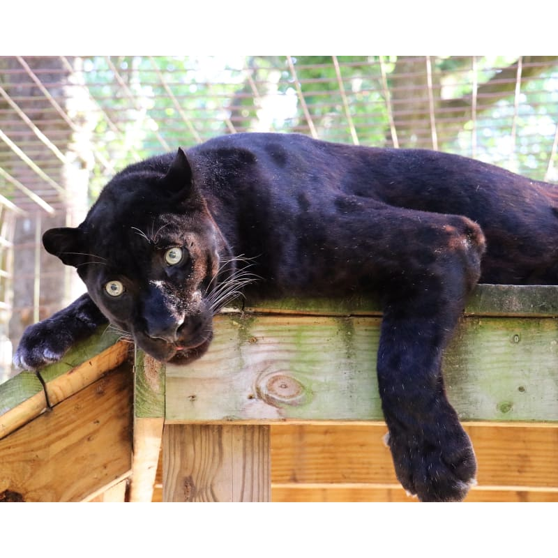 products/photo-download-black-leopard-08-c-8x10-inch-300-dpi-catrescue-felidae-big-cats_480.jpg