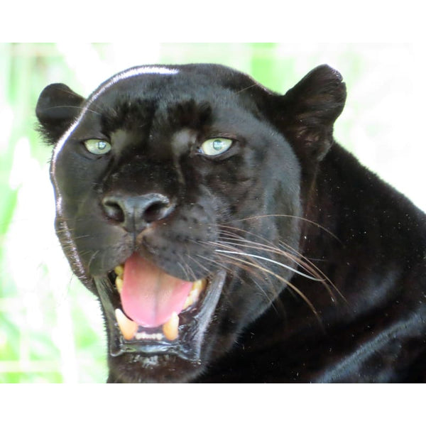Photo Download Black Leopard 10 - c 8x10 inch 300 DPI - Photo