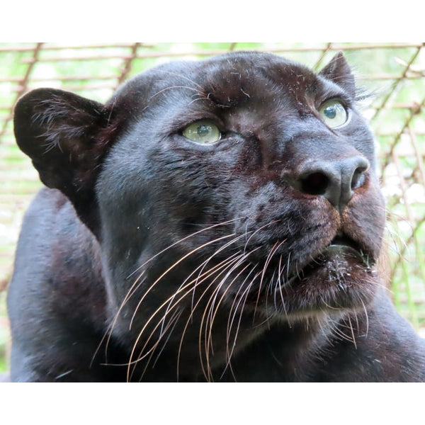 Photo Download Black Leopard 13 - c 8x10 inch 300 DPI - Photo