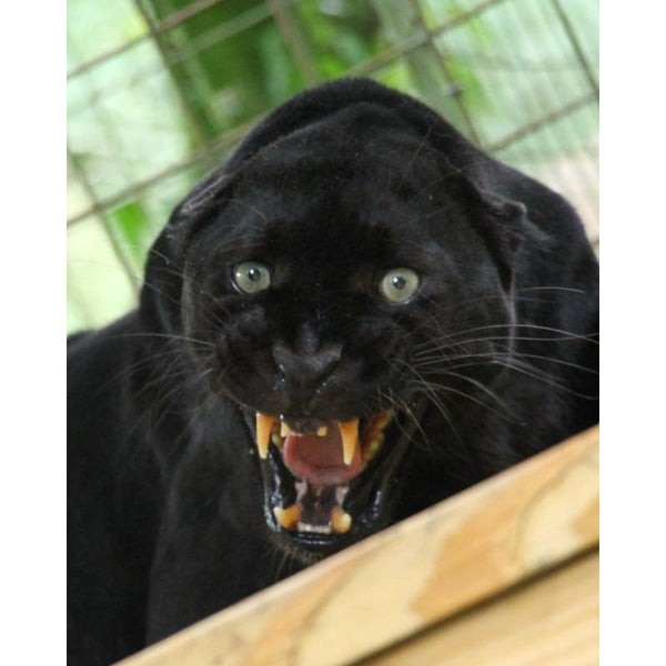 Photo Download Black Leopard 14 - c 8x10 inch 300 DPI - Photo