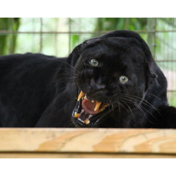 Photo Download Black Leopard 15 - c 8x10 inch 300 DPI - Photo