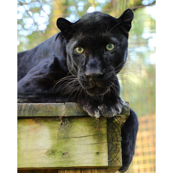 Photo Download Black Leopard 17 - c 8x10 inch 300 DPI - Photo