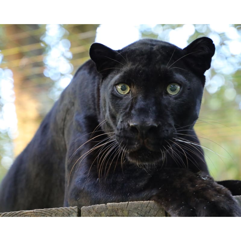 products/photo-download-black-leopard-21-c-8x10-inch-300-dpi-catrescue-mammal-vertebrate-terrestrial_484.jpg