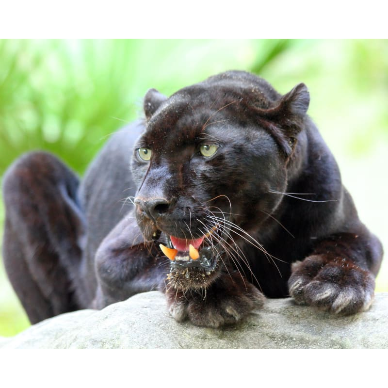 products/photo-download-black-leopard-25-c-8x10-inch-300-dpi-catrescue-mammal-vertebrate-felidae_730.jpg