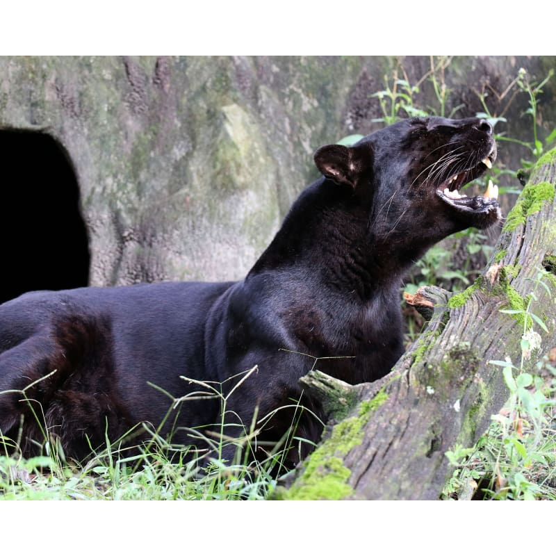 products/photo-download-black-leopard-30-c-8x10-inch-300-dpi-catrescue-vertebrate-mammal-carnivore_570.jpg