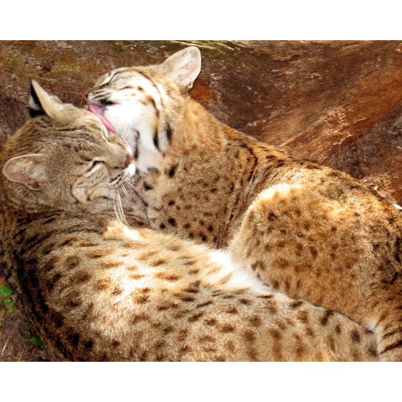 products/photo-download-bobcat-01-a-websize-catrescue-mammal-vertebrate-felidae_216.jpg