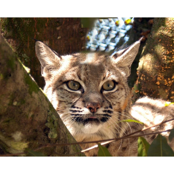 Photo Download Bobcat 02 - a websize - Photo