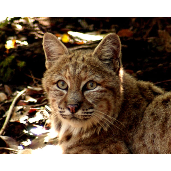Photo Download Bobcat 03 - a websize - Photo