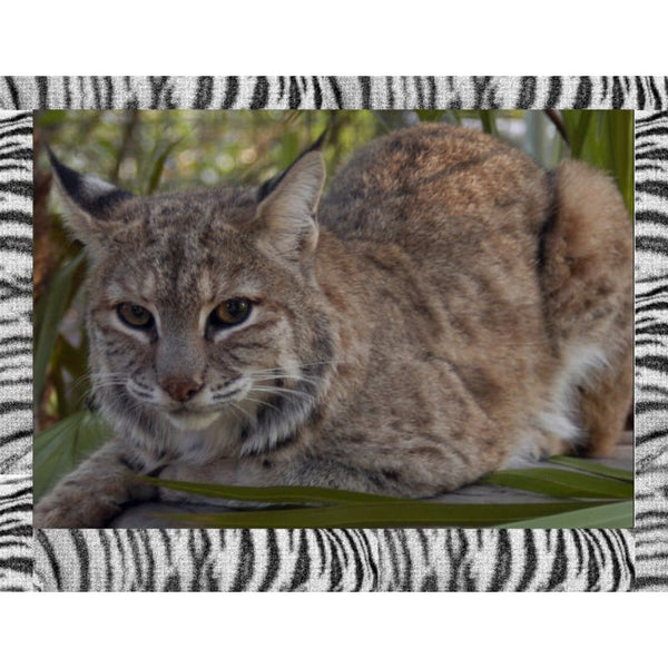 Photo Download Bobcat 05 - a websize - Photo