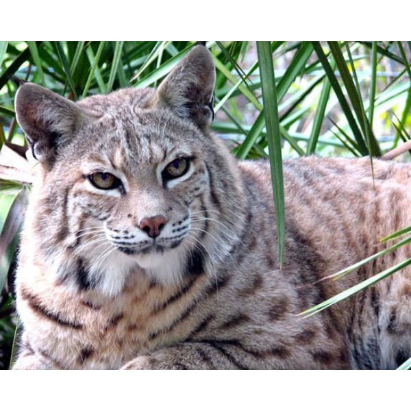 Photo Download Bobcat 08 - a websize - Photo