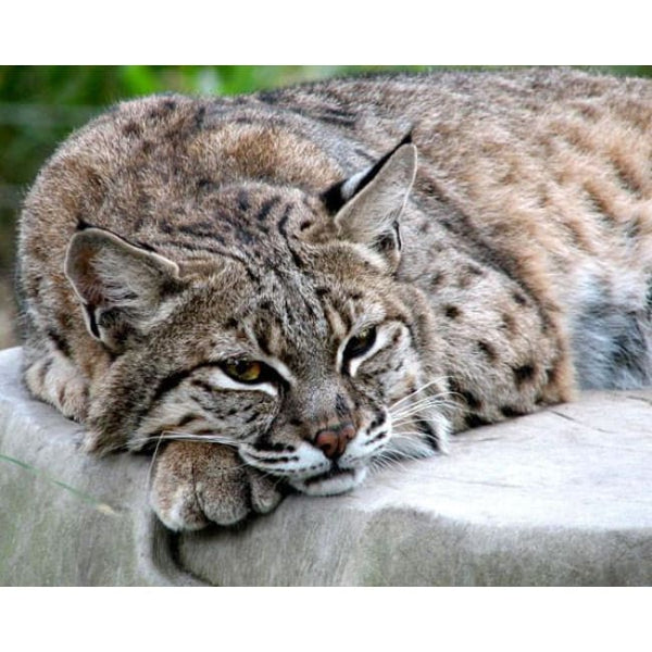 Photo Download Bobcat 09 - a websize - Photo