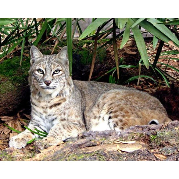 Photo Download Bobcat 10 - a websize - Photo