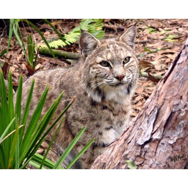 Photo Download Bobcat 11 - a websize - Photo