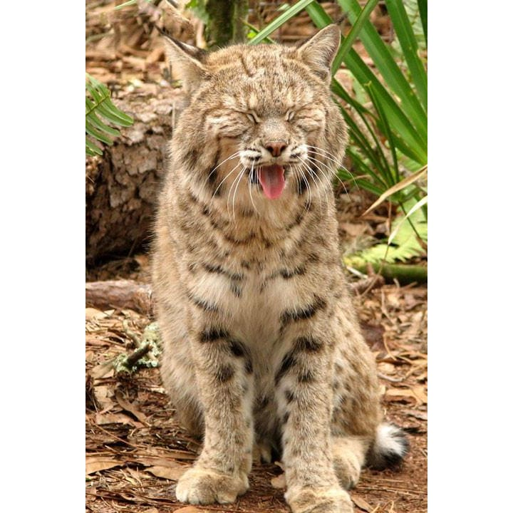 products/photo-download-bobcat-12-a-websize-catrescue-mammal-vertebrate-felidae_767.jpg