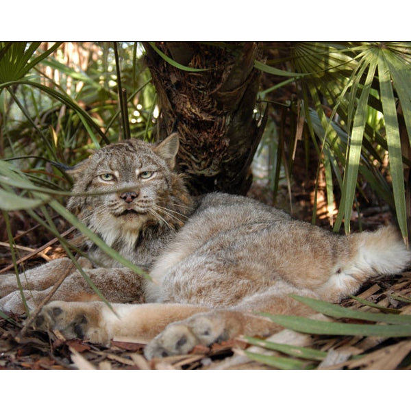 Photo Download Canada Lynx 01 - a websize - Photo