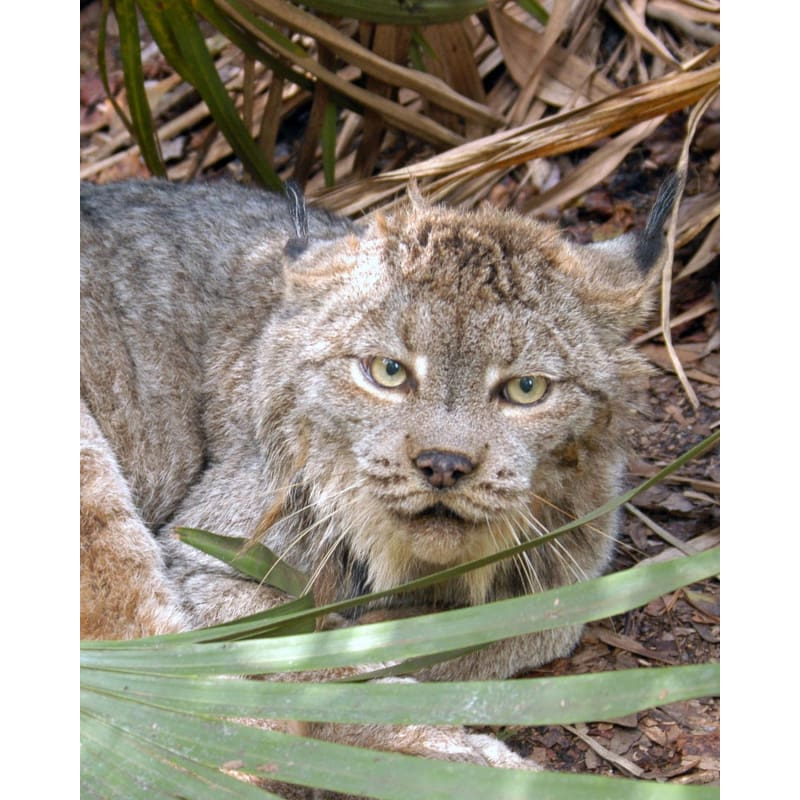 products/photo-download-canada-lynx-02-a-websize-wild-cat-catrescue-mammal-vertebrate-felidae_371.jpg