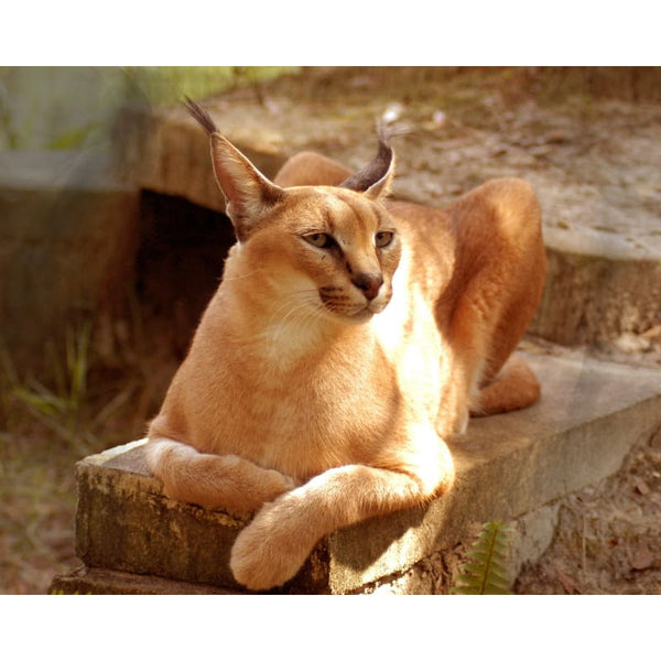 Photo Download Caracal 01 - a websize - Photo