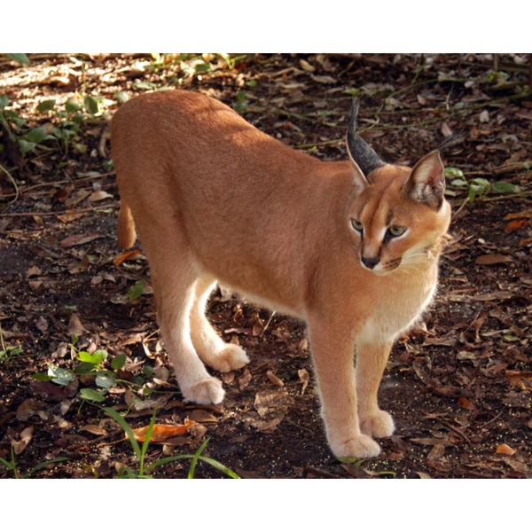 Photo Download Caracal 02 - a websize - Photo