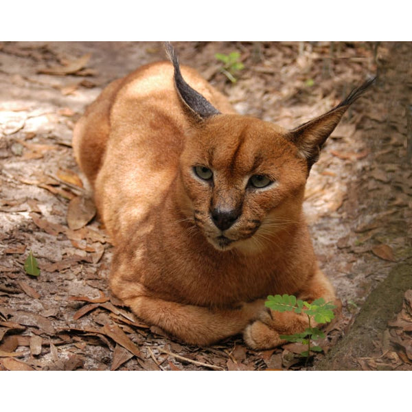 Photo Download Caracal 03 - a websize - Photo
