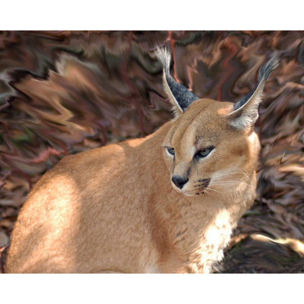 Photo Download Caracal 04 - a websize - Photo